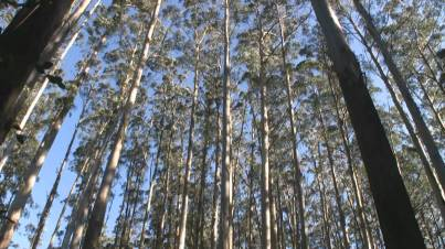 Stand of strong eucalypts